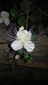 Die Blüte eines Kapernbusches