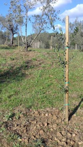 Neuanpflanzung von Olivenbäumen