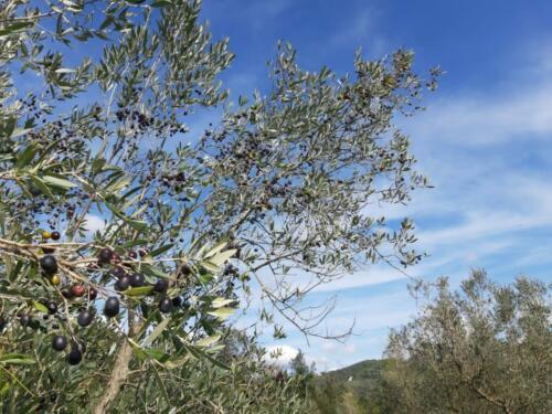 Oliven soweit das Auge reicht