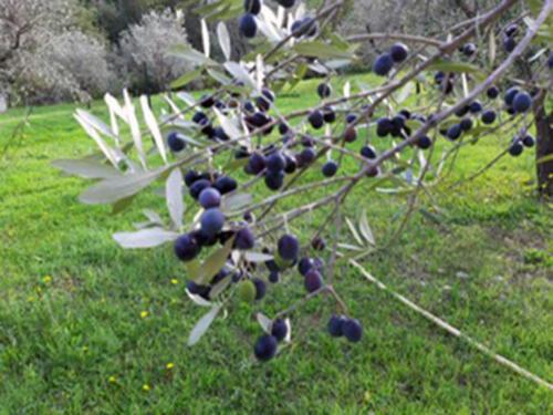 Schöner, voller Olivenzweig