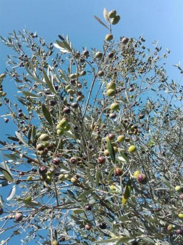 Olivenernte 2017 / 2018